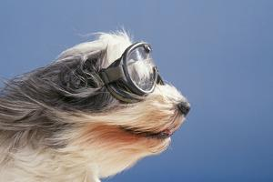 Polish Lowland SheepWearing Goggles in Wind