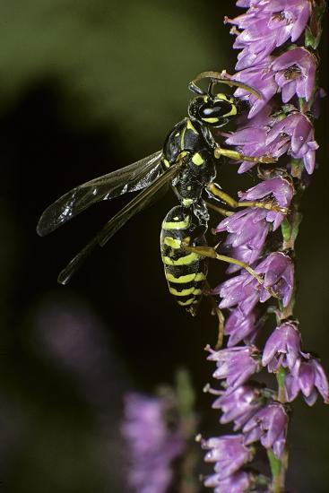 Polistes Dominula (European Paper Wasp)-Paul Starosta-Photographic Print