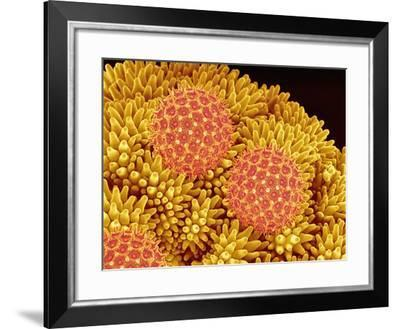 Pollen on Morning Glory Pistil-Micro Discovery-Framed Photographic Print