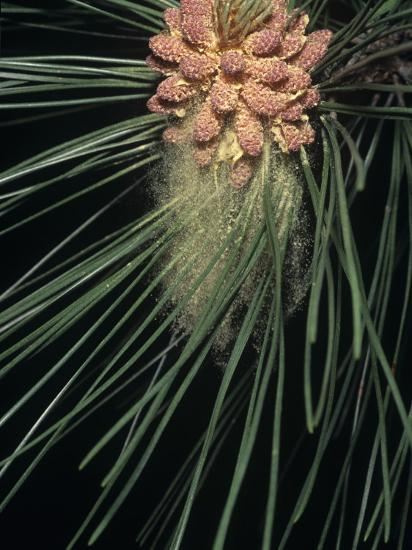 Pollen Release from Male Cones of a Red Pine-Brad Mogen-Photographic Print