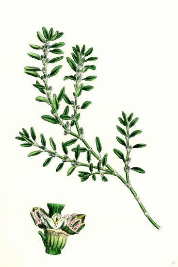 Polygonum Aviculare Arenastrum Common Knot-Grass--Giclee Print