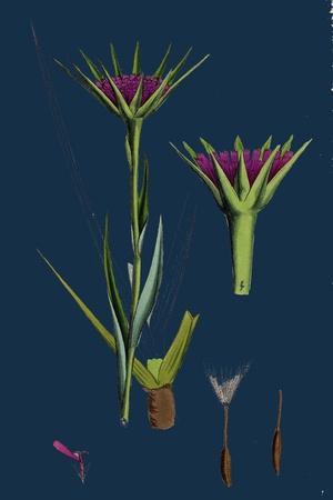 https://imgc.artprintimages.com/img/print/polygonum-aviculare-arenastrum-common-knot-grass_u-l-pvf6te0.jpg?p=0