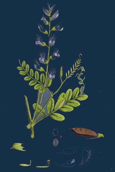 Polygonum Lapathifolium, Var. Genuinum; Glandular Persicaria, Var. A--Giclee Print