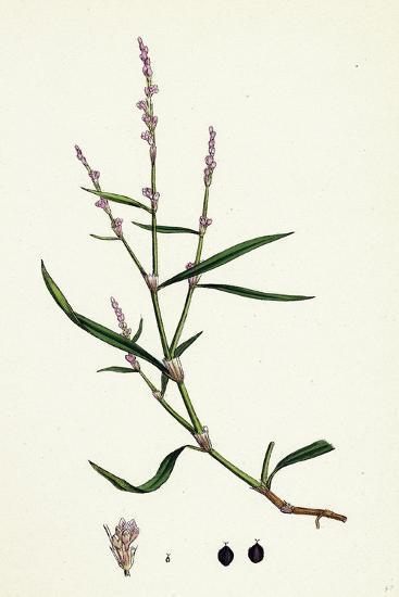 Polygonum Minus Small Persicaria--Giclee Print