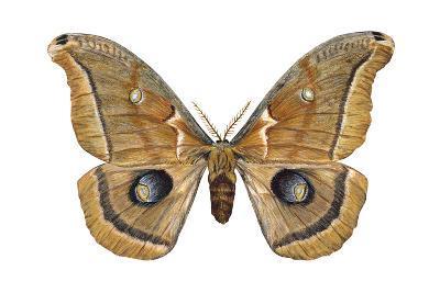 Polyphemus Moth (Telea Polyphemus), Insects-Encyclopaedia Britannica-Art Print