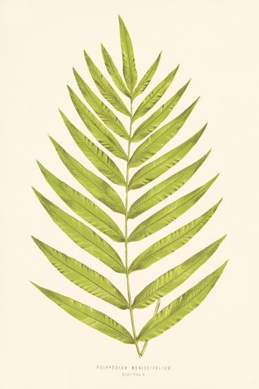 Polypodium Meniscifolium-Edward Joseph Lowe-Giclee Print