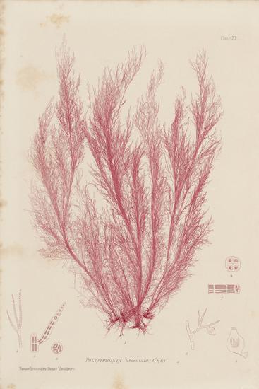 Polysiphonia-Henry Bradbury-Giclee Print