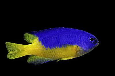 Pomacentrus Coelestis (Neon Damselfish)-Paul Starosta-Photographic Print
