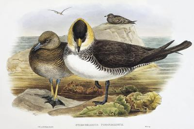 Pomarine Jaeger (Stercorarius Pomarinus)-John Gould-Giclee Print