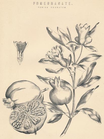 'Pomegranate', c19th century-Unknown-Giclee Print