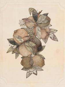 Pomegranate Fruit, 1867