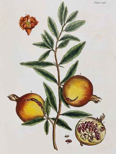 Pomegranate-Elizabeth Blackwell-Giclee Print