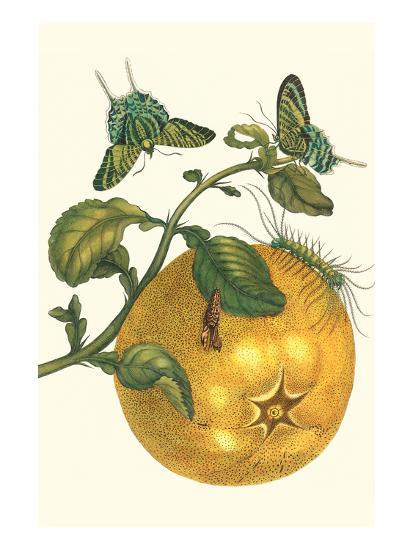 Pomelo Fruit with Urania Moth-Maria Sibylla Merian-Art Print