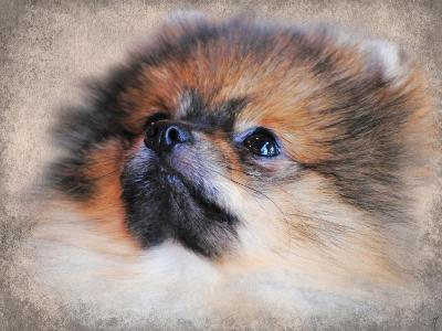 Pomeranian Portrait-Jai Johnson-Giclee Print