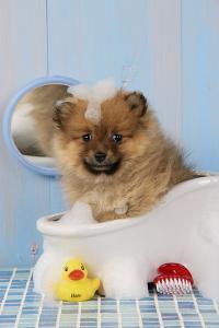 Pomeranian Puppy in Bath (10 Weeks Old)