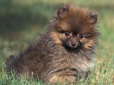 Pomeranian Puppy on Grass-Adriano Bacchella-Photographic Print