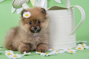 Pomeranian Puppy Sitting Next to Watering