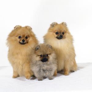 Pomeranian, Three Sitting, One Puppy, Studio Shot