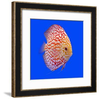 Pompadour or Symphysodon Fish in the Aquarium-Charoen Pattarapitak-Framed Photographic Print