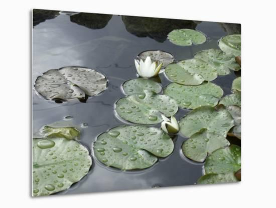 Pond with Waterlily-Anna Miller-Metal Print