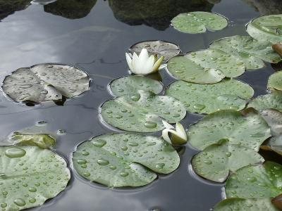 Pond with Waterlily-Anna Miller-Photographic Print