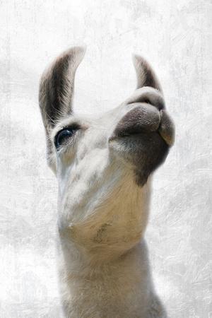 https://imgc.artprintimages.com/img/print/pondering-llama_u-l-q1bqrmk0.jpg?p=0