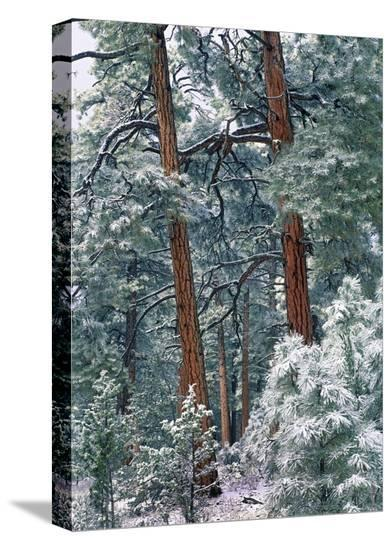 Ponderosa Pine forest after fresh snowfall, Rocky Mountain NP, Colorado-Tim Fitzharris-Stretched Canvas Print