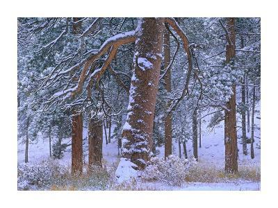 Ponderosa Pine trees after fresh snowfall, Rocky Mountain National Park, Colorado-Tim Fitzharris-Art Print