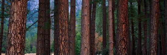 Ponderosa Pines in Yosemite National Park, California, USA--Photographic Print
