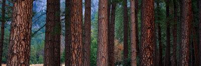 https://imgc.artprintimages.com/img/print/ponderosa-pines-in-yosemite-national-park-california-usa_u-l-oju3o0.jpg?p=0