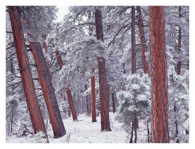 Ponderosa Pines with snow, Grand Canyon National Park, Arizona-Tim Fitzharris-Art Print