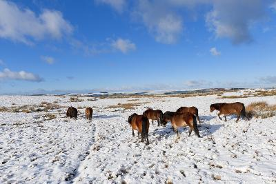 Ponies Forage for Food in the Snow on the Mynydd Epynt Moorland, Powys, Wales-Graham Lawrence-Photographic Print