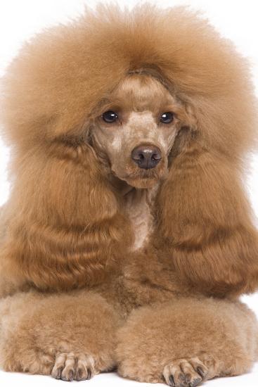 Poodle Miniature--Photographic Print