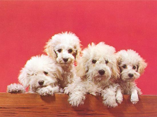 Poodle Puppies-Found Image Press-Art Print