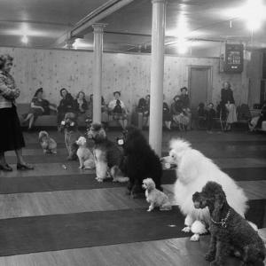 Poodle's Being Trained in Obedience School