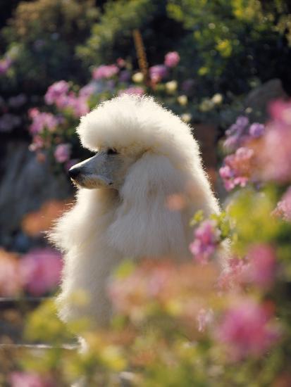 Poodle--Photographic Print