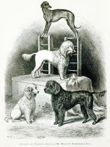 Poodles and Whippet - Group of Mr. Walton's Performing Dogs