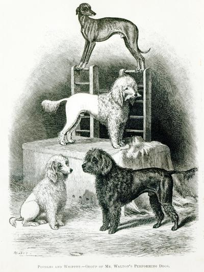 Poodles and Whippet - Group of Mr. Walton's Performing Dogs--Giclee Print