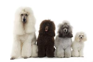 Poodles Row of 4 (Caniche)