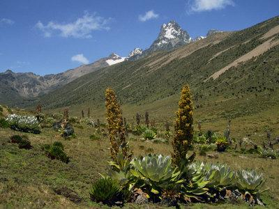 Mount Kenya, with Giant Lobelia in Foreground, Kenya, East Africa, Africa