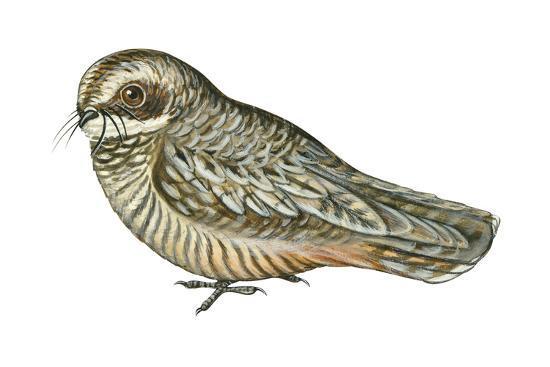 Poorwill (Phalaenoptilus Nuttallii), Birds-Encyclopaedia Britannica-Art Print
