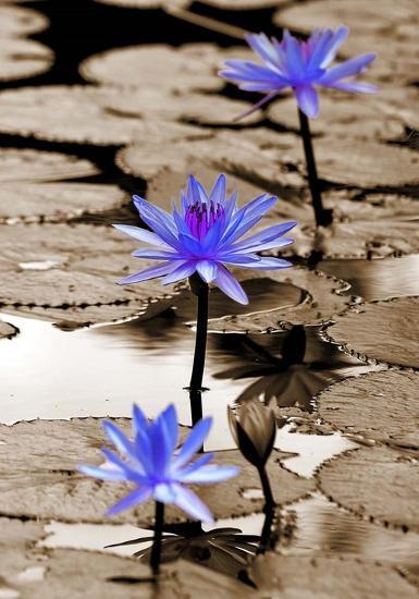 Pop of Color Lotus Flowers-Color Me Happy-Art Print