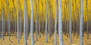 Poplar Plantation in Autumn, Near Irrigon, Oregon, Usa