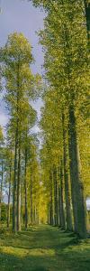 Poplar trees, River Tweed, Scottish Borders, Scotland