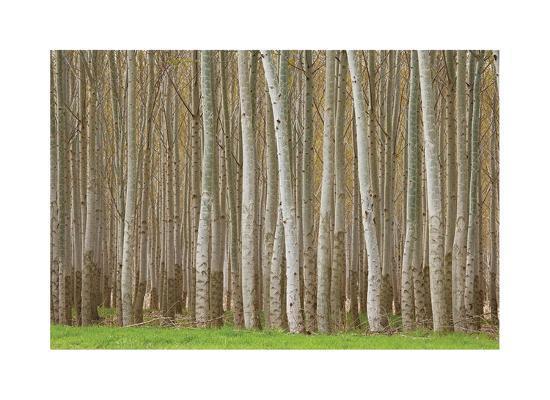 Poplar Trees-Donald Paulson-Giclee Print