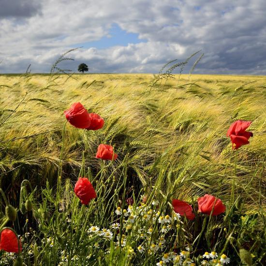 Poppies and Barley Field-pierre hanquin photographie-Photographic Print