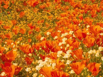Poppies and Cream Cups, Antelope Valley, California, USA-Terry Eggers-Photographic Print