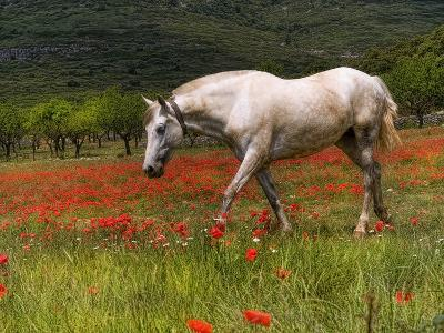 Poppies and Horse-Joanot-Photographic Print