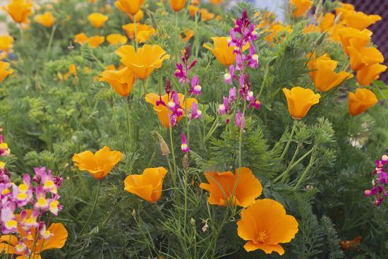Poppies and Toadflax-DLILLC-Photographic Print