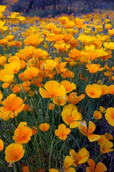 Poppies, Bloom in the Sonoran Desert, Tucson, Arizona-Susan Degginger-Photographic Print